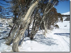 PerisherValley - snowgums